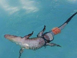 نخستین تمساح دارای دم مصنوعی جهان