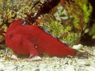 کشف گونه جدید از ماهیهايی که راه میروند