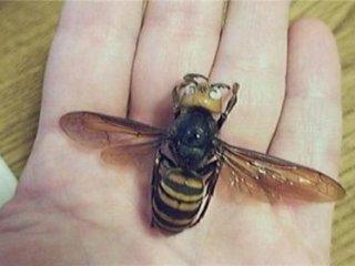 زنبور سرخ به اندازه کف دست انسان