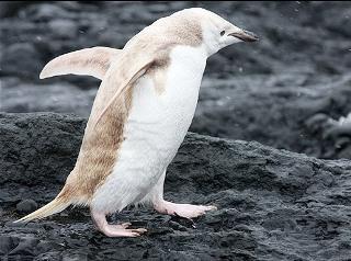 کشف پنگوئن زال در قطب جنوب